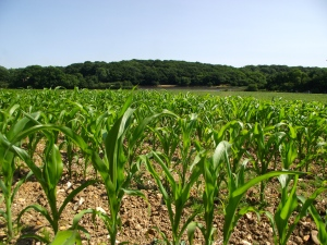 The corn field in which I lay